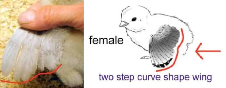 Can you tell if a Chicken is male or Female